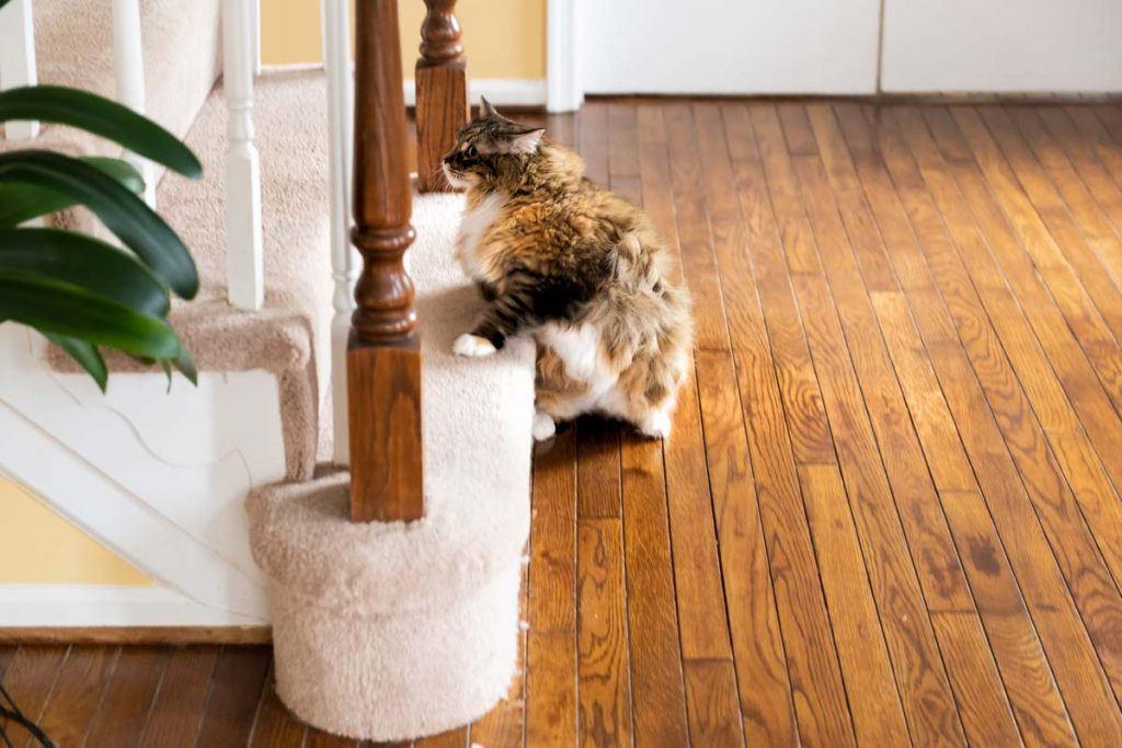 Calico white and orange cat running up carpet stairs inside indoor home funny pose